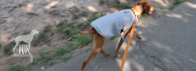 Tavish walking with his Ruffwear Swamp Cooler vest at Fort Ward