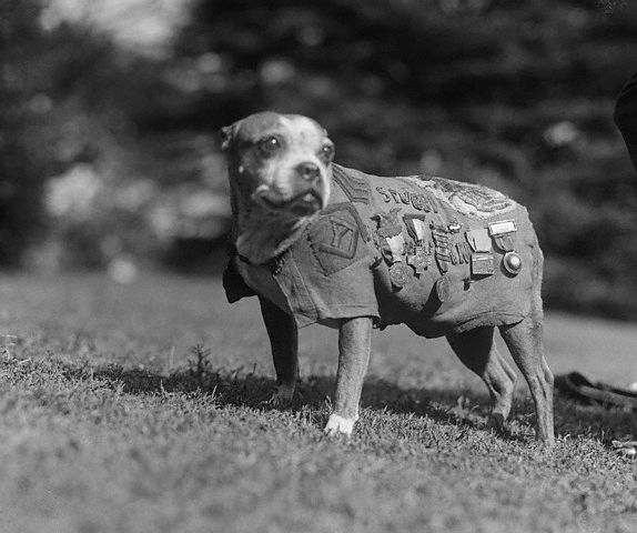 Sergeant Stubby Wearing Military Medals