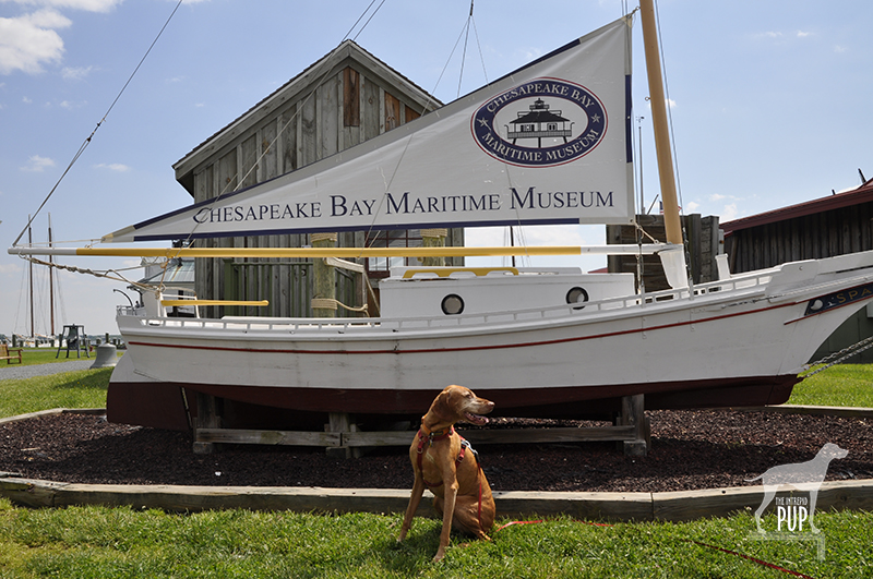 Tavish at the Chesapeake Bay Maritime Museum